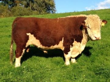 Bull Gerwyn 'HENRY' (DH)
